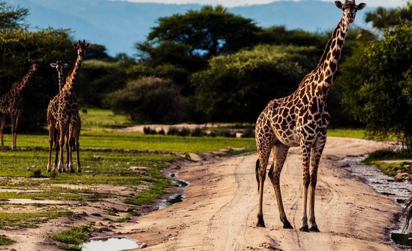 Safari med Swett