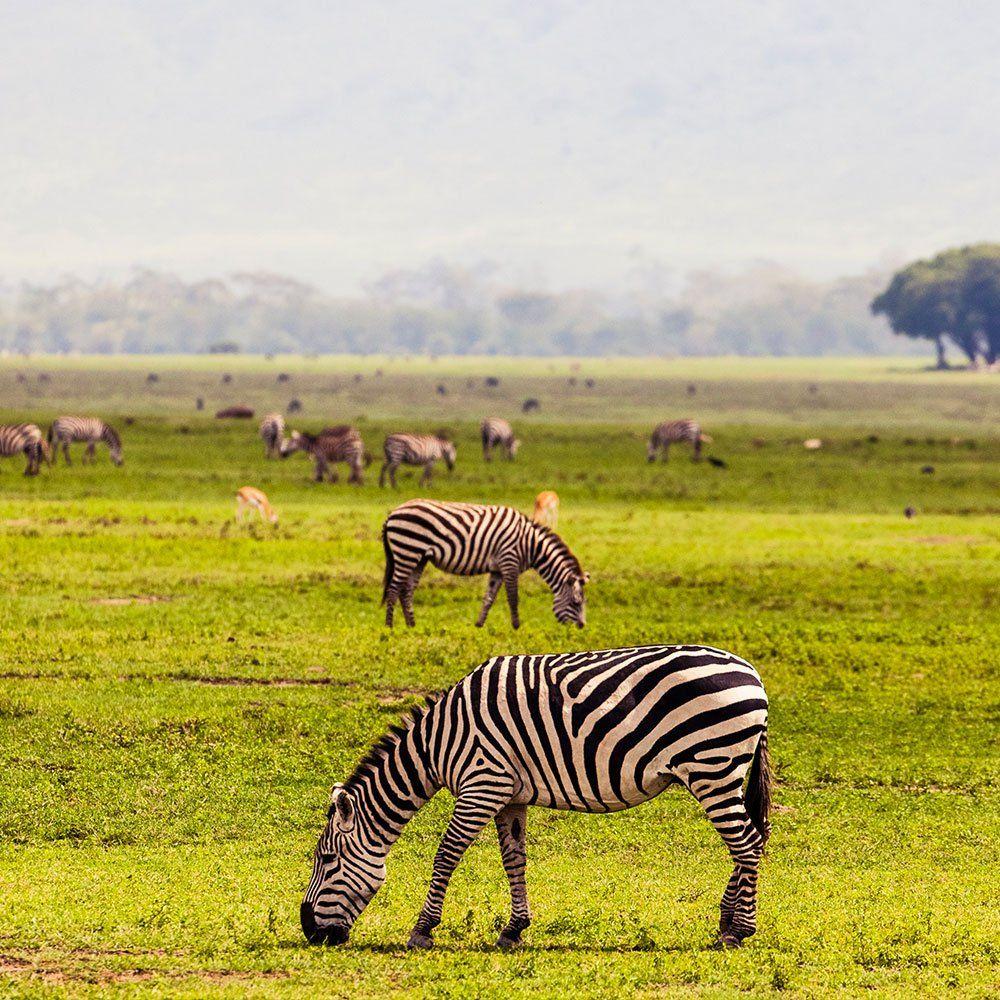 Zebror upptäckta under safari i Tanzania | Swett