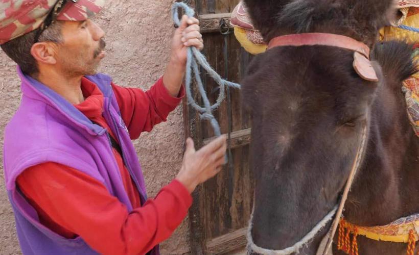 Starka åsnor hjälper till med packningen under vandringen i Atlasbergen