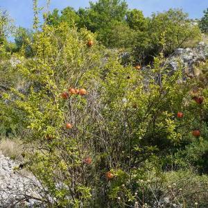 Granatäpplen i vackra Kroatien