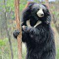 läppbjörn Chitwan safari